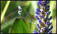 IMG_2366 Prom King and Queen 3-16-18 (arkansas traveler) Tags: dragonfly bluedasher ladybug bichos bugs insects flowers pickerelweed zoom telephoto bokeh bokehlicious nature naturewatcher natureartphotography