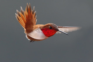 Male Rufous In Action