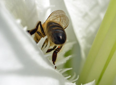 Honey bee on an oriental hybrid lily (conall..) Tags: lilium hybrid oriental honeybee