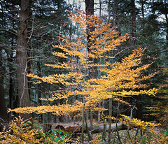 Fall Colours in Dundas Valley (Umer Javed) Tags: dundas ontario hamilton f28 canon t3i eos600d trees autumn fall canada conservation orange yellow leaves leaf forest wild wilderness foliage flora pattern natural nature 6x7 rawtherapee wood hiking walking trekking park