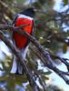 Elegant Trogon (transierphotography1) Tags: bird birds birdwatching 5dmarkiv canon birdwatchers madera arizona az maderacanyon southernarizona tucson trogon eleganttrogon colorful rare