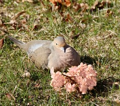 Mourning Dove and Hydrangea flower. (Gillian Floyd Photography) Tags: bird mourning dove hydrangea flower