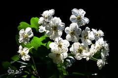 Sorridi...alla Vita!!! (Biagio ( Ricordi )) Tags: fiori primavera flower sole