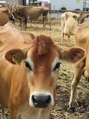5243 - mohawk (leogaggl) Tags: jersey dairy fleurieupeninsula