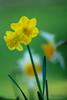 _MG_1824 (apancorboc) Tags: flor narciso