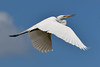 Great egret at Venice Rookery (schwerdf) Tags: birds florida greategrets venice venicerookery
