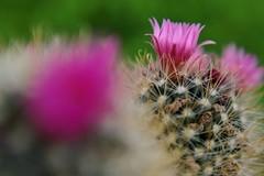 Cactus in bloom. (janrs7) Tags: cactus blooming flower indoor colours meritarf2950mm vintagelens macro