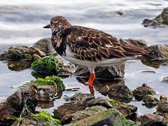 Vuelvepiedras común  (Arenaria interpres) (7) (eb3alfmiguel) Tags: aves agua charadriiformes scolopacidae vuelvepiedras común arenaria interpres