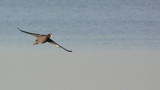 Folaga in volo - Coot in flight