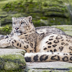 A snow leopard lying on the rock thumbnail