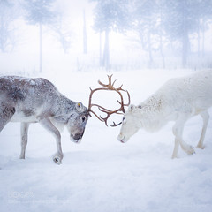 Reindeers in Finnish Lapland (vinayakjnavalur1) Tags: ifttt 500px wwwthomaskleinecom animal arctic couple europe fight finland fog landscape moody nature nellim outdoor reindeer scandinavia snow thomas kleine travel wilderness winter cold temperature ice frozen snowing frost snowy polar climate covered white thomaskleine