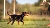 Muffin lured (zola.kovacsh) Tags: outdoor animal pet dog agility szeged miniature pinscher grass garden