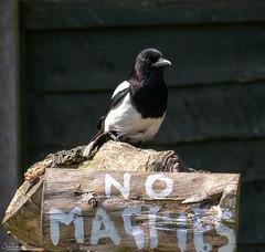 Mischievous Magpie (Steve (Hooky) Waddingham) Tags: animal bird british countryside nature garden photography black wild wildlife white