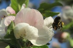 Bee on the apple tree flower (*SHERWOOD*) Tags: france vendée larochesuryon home garden appletree flowers