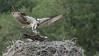 Osprey Nest in Florida (Raymond J Barlow) Tags: osprey birdinflight raymondbarlow raptor nature naturallight travel fish fishing nest