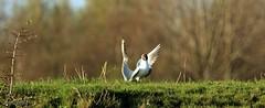 J78A2658 (M0JRA) Tags: birds flight flying wildlife rats walks gardens parks fields trees lakes ponds ducks swans rspb