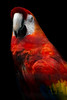 Red (Alden Lim) Tags: red parrot portrait singapore jurong macaw intense