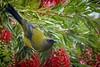 The Bellbird and the Honey Bee (njohn209) Tags: birds d500 nikon nz