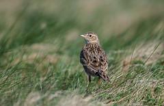 Skylark IOW 25-04-2018-5579 (seandarcy2) Tags: lark skylark westhighdown iow uk birds wildlife