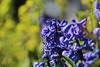 Hyacinth (iridescent.reminiscence) Tags: spring flowers flower hyacinth purple