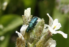 Este coleóptero de la familia Dasytidae es  Psilothrix viridicoerulea. Es de color verde azulado metalizado y particularmente pienso que es precioso. En la foto se observa una pareja en la cópula, por algo estamos en primavera. (EMferrer) Tags: insecto psilothrixviridicoerulea macroinsecto psilothrix dasytidae photoinsects vidanatural bichos escarabajo wildlife insects fotoinsecto insect insecta nature macroinsect macrofoto fotomacro macrosp coleoptero makrophoto naturaleza