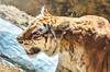 _DSC0207P (GusAndr) Tags: tigre tiger wild nikon 70300 vr 5100