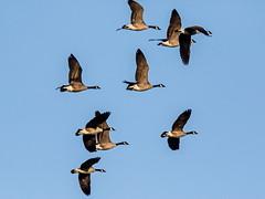 Canadian Geese_3 (SamOphoto2011) Tags: canon california birds 14iiteleconverter 7dmarkii 100400lmarkii ramona grasslands canadiangeese brantacanadensis