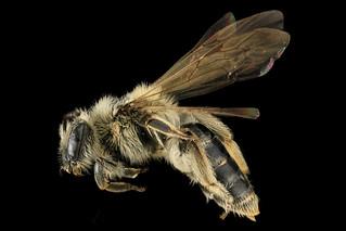 Andrena nida, F, Left, MD, Prince George's county_2013-05-21-17.25
