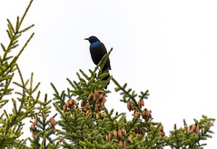 Grackle (TheNovaScotian1991) Tags: commongrackle bird sky tree victoriapark canada colchestercounty novascotia maritimes truro blackspruce nikond3200 afsdxnikkor55200mmf456gedvrii animal beautiful
