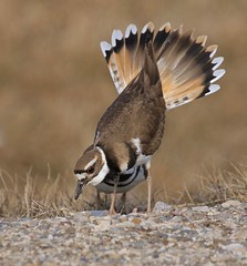 Take a Bow (Slow Turning) Tags: charadriusvociferus killdeer bird breedingplumage courtshipdisplay bow fantailfeathers spring southwesternontario canada