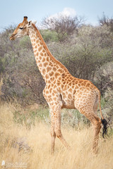 Giraffe (Birds Of Amsterdam) Tags: giraffe south africa bush wildlife nature desert kuruman grass animal field tree mammal forest landscape