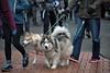 Furry Fellas (Scott 97006) Tags: dogs fur cute animals canine walk