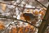 Mimicry (Pavel Vanik) Tags: czechrepublic bohemia nature bird robin colour orange hiding mimicry canon 7d sigma150600c