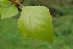 Poplar leaf (Baractus) Tags: warwickshire uk poplar unidentified earlswood moathouse nature reserve wildlife trust