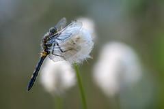 Moosi (Olaf Traumflieger) Tags: moosjungfer torfmoor libelle wollgras