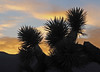 Sunset / Death Valley (Ron Wolf) Tags: asparagaceae deathvalleynationalpark joshuatree nationalpark yuccabrevifolia desert landscape nature silhouette sunset tree trees california