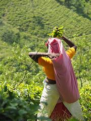 Tea picking, Riverston to Rattota, Sri Lanka (malithewildcat) Tags: woman womanteapicking teaplantation teapicking riverston srilanka teaplantationtrek centralprovince