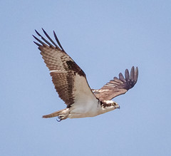 Osprey fly-by (tresed47) Tags: 2018 201803mar 20180327bombayhookbirds april birds canon7d content folder johnheinznwr osprey pennsylvania peterscamera petersphotos philadelphia places season spring takenby us ngc