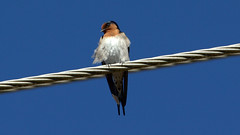 Welcome Swallow  Hirundo Neoxena (tonydawe1) Tags: wire sky blue fork spots grey 600mm canon lens australia swallow welcome