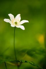 Buschwindröschen-2 (jens_cc) Tags: buschwindröschen anemonenemorosa