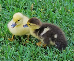 Can you share, please? (ironicdream) Tags: muscovyduck duckling cute baby duck nature canon outside florida chick young avian fauna 7dwf
