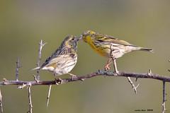 Piquito* (Enllasez - Enric LLaó) Tags: aves aus bird ocells pájaros 2018 cerveradelmaestre cerveradelmaestrat cervera gafarró