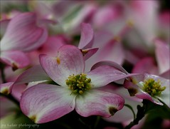 I always find that statistics are hard to swallow and impossible to digest.  The only one I can ever remember is that if all the people who go to sleep in church were laid end to end.... (itucker, thanks for 4+ million views!) Tags: cornus dogwood pink blossom wralgardens hppt macro bokeh