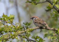 Tree Sparrow, Passer montanus (Nature Exposed) Tags: treesparrow fairburnings westyorkshire yorkshire nature natureexposed naturephotography wild wildlife wildlifephotography leighprevost leighprevostphotography bird birds birdphotography britishbirds britishwildlife britishisles fauna passerine passerines sparrow sparrows