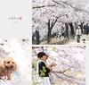 Toa tàu hoa anh đào có 102 ở Nhật Bản (fiditourhathanhbinh) Tags: fiditour mùahoaanhđào nhậtbản dulịchnhậtbản