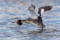 Great Crested Grebe - Walking On Water (Simon Stobart (Catching Up and Editing)) Tags: great crested grebe podiceps cristatus walking on water running flying chasing northeast england naturethroughthelens ngc npc