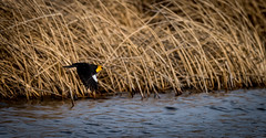 Yellow Headed Blackbird in flight