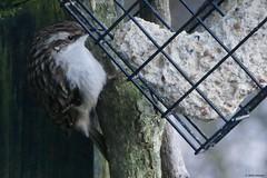 Boomkruiper (jehazet) Tags: vogels tuin boomkruiper treecreeper inmygarden