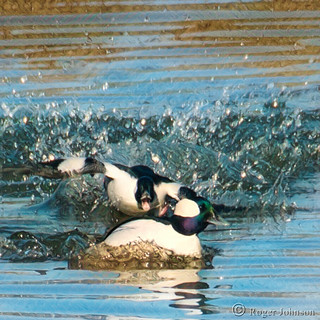 A Couple Of Buffleheads Butting Heads
