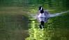 Eastville park lake (John (Thank you for >2 million views)) Tags: 7dwf fauna canadiangoose waterreflections earlymorning riverfromewalk eastvillepark bristol